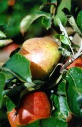 apple-coxs-orange-pippin-001.jpg