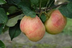 apple-james-grieve-002.jpg