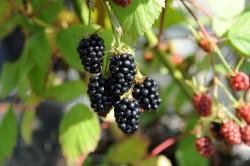 blackberry-black-satin-005.jpg