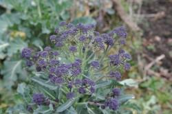 broccoli-purple-sprouting-002.jpg