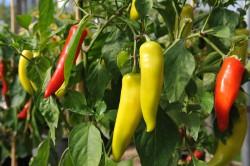 chilli-pepper-hungarian-hot-wax-002.jpg