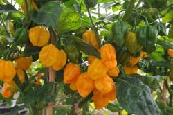 chilli-pepper-numex-suave-orange-006.jpg