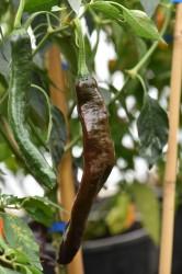 chilli-pepper-pasilla-bajio-001.jpg