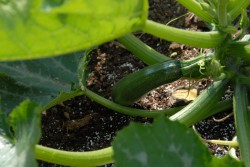 courgette-zucchini-002.jpg