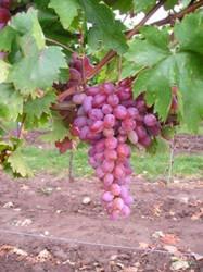 grape-vine-rhea-001.jpg