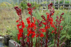 lobelia-cardinalis-queen-victoria-001.jpg
