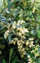 olive-flower-001.jpg