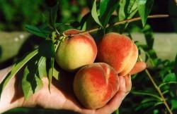 peach-darling-001.jpg