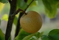 pear-asian-hosui-001.jpg