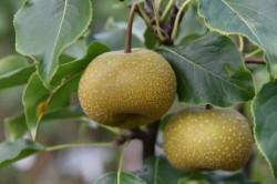 pear-asian-shinko-004.jpg