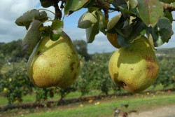 pear-doyenne-du-comice-002.jpg