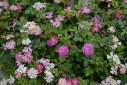 rosa-polyantha-001.jpg
