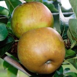 sq-apple-ashmeads-kernel-002.jpg