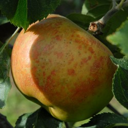 sq-apple-blenheim-orange-001.jpg