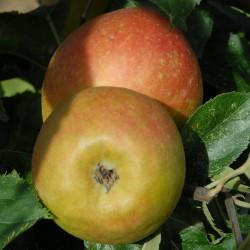 sq-apple-claygate-pearmain-002.jpg