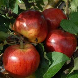 sq-apple-ellis-bitter-001.jpg