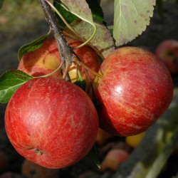 sq-apple-ellisons-orange-003.jpg