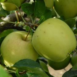 sq-apple-golden-delicious-002.jpg