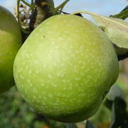 sq-apple-granny-smith-001.jpg