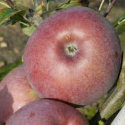 sq-apple-howgate-wonder-001.jpg