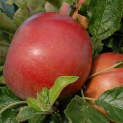 sq-apple-idared-001.jpg