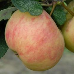 sq-apple-james-grieve-002.jpg