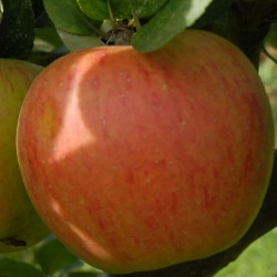 sq-apple-king-of-the-pippins-002.jpg