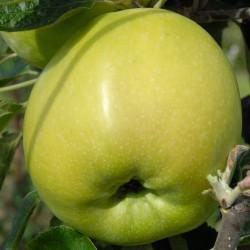 sq-apple-lord-derby-001.jpg