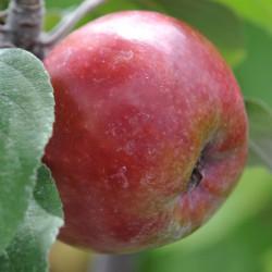 sq-apple-sops-in-wine-002.jpg