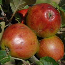 sq-apple-tremletts-bitter-001.jpg