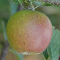 sq-apple-winston-001.jpg