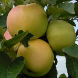 sq-apple-winter-banana-001.jpg