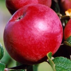 sq-apple-yarlington-mill-002.jpg