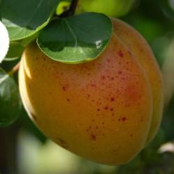sq-apricot-hargrand-001.jpg