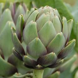 sq-artichoke-purple-001.jpg