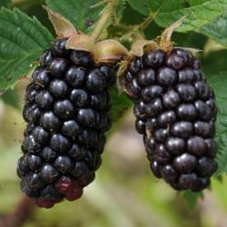 sq-blackberry-karaka-black-002.jpg