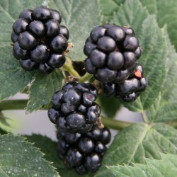 sq-boysenberry-001.jpg