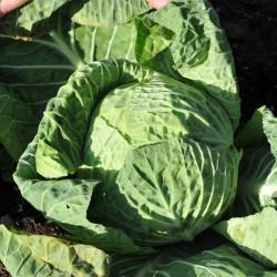 sq-cabbage-savoy-001.jpg