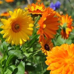 sq-calendula-officinalis-mixed-002.jpg