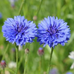 sq-centaurea-crown-blue-001.jpg