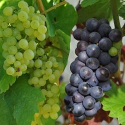 sq-champagne-grape-collection.jpg