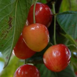 sq-cherry-napoleon-002.jpg