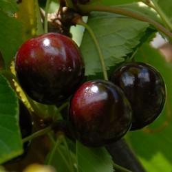 sq-cherry-stella-001.jpg
