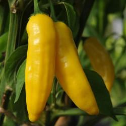 sq-chilli-pepper-aji-limon-001.jpg