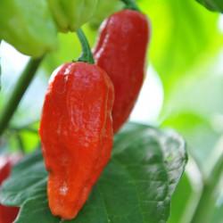 sq-chilli-pepper-bhut-jolokia-001.jpg