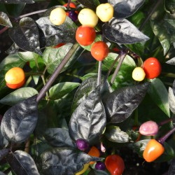 sq-chilli-pepper-bolivian-rainbow-002.jpg