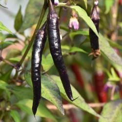 sq-chilli-pepper-cayenne-purple-001.jpg