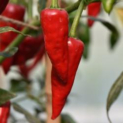 sq-chilli-pepper-fat-bird-001.jpg