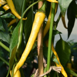 sq-chilli-pepper-golden-cayenne-001.jpg