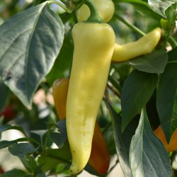 sq-chilli-pepper-hungarian-yellow-wax-002.jpg